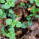 Der Berg-Ehrenpreis (Veronica montana, helle Blätter) unterscheidet sich durch den runden Stängel von der Goldnessel (Lamium galeobdolon, dunkle Blätter)
