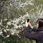 Immer wieder eine Augenweide: die Blütenpracht der Schlehe (Prunus spinosa)