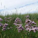 Der Strandflieder Limonium vulgare wächst in Salzwiesen (Foto: Karin Parpin)