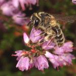 Eine Heidekraut-Sandbiene (Andrena fuscipes) sammelt Pollen und Nektar an der Blüte der Besenheide (Calluna vulgaris). Die Weibchen der Heidekraut-Sandbiene tragen Pollen und Nektar in gegrabene Brutkammern ein.
