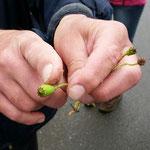 Der häufigere Saat-Mohn hat nur sechs Narbenstrahlen, Foto: Katharina Uhlenbrock