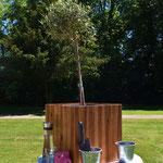 Olivenbaum pflanzen