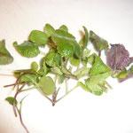 silberblattkeimlinge und silberblattsprossen