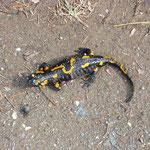 wegwackel - feuersalamander
