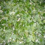 weíßdornblätter und weißdornblüten