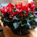 coupe de 3 cyclamens