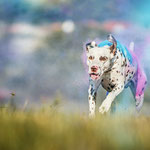 Sk.Ch.Slo.Ch. Somora´s Juniper Dream LUA (N/hu) Holi-Fotoshooting mit Linda Look...17.07.2019