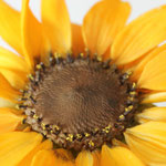Gumpaste Sunflower by Floralilie
