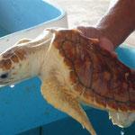 Una tortuga blanca, una de las cuatro espcies que aquí se encuentran