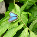 La mariposa Waro Waro