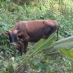 Un toro nos mira amenazante, por lo que decidimos no acercarnos más