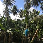 Plantaciones de bananas