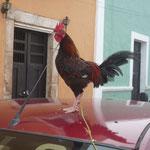 Un gallo hermoso