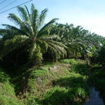 Los palmerales de la zona del Pacífico