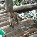 El mono capuchino, como animal de compañía