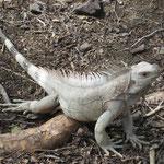 Iguanas...