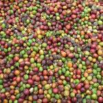Granos de café de la zona de los Altos, dicen que es excelente