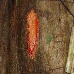 El sangrito, llamado así  porque bota una savia roja cuando se corta