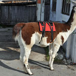 Lama wurde vorbereitet, für das Tragen von unserer Jause