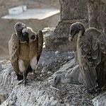 Geier in einem Nest in Indien