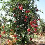 Granatapfelbaum in Israel. Die haben auch Granatapfelwein.