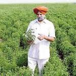 Steviaplantage in Indien