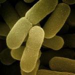 2 Colibakterien tauschen genetische Informationen aus.