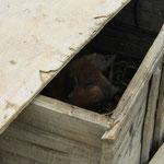 Schwein in Kiste