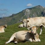 Vaches en estive à Estérençuby (20km)