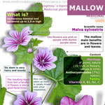 Mallow benefits infographic