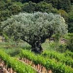 olivier au milieu des vignes du minervois