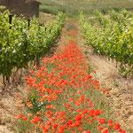 coquelicot dans les vignes du vignoble de l'Aude