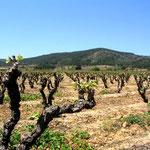 vignes au printemps dans les corbières