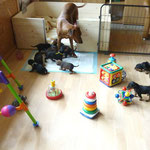 alle 13 Welpen und Mama Onnie im Wohnzimmerauslauf;-)