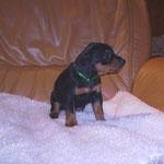 Rüde grün (Aragon), 5 Wochen alt.