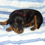 Rüde lila, 2 Wochen alt