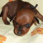 Hündin rot (schwarzes Bändchen) 2 Wochen alt