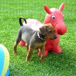 """Cäsar (Sam) ist schon fast so groß wie ein """"Pferd"""" !! Da freut sich """"Herrchen"""" !!"""