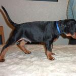 Unser Black-Jack, 8 Wochen alt.