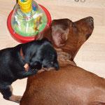 Rüde kupfer (Belmondo), flüstert seiner Mama ins Ohr.