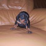 Rüde blau, kann schon sitzen und laufen..und bellen!!