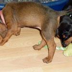 Auch Hündin (rosa) und Rüde (grün), gefällt der Spielknochen.