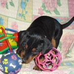 Hündin (graues Bändchen) 5 Wochen alt ;-)