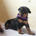 Hündin (lila Bändchen) 4 Wochen alt