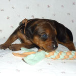 Hündin rot (braunes Bändchen) 2 Wochen alt