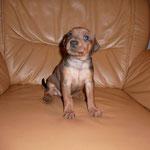 Rüde dunkelrotes B. 4 Wochen alt