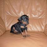 Rüde kupfer B. (Belmondo), 4 Wochen alt