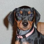 Black-Bonita mit 8 Wochen