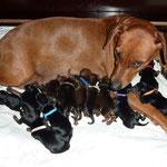 Onnie mit allen 13 Welpen kurz nach der Geburt am 13 Juni 2015