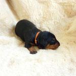 Rüde kupfer Band, 2 Wochen alt. Hatte als erster seine Augen auf !!
